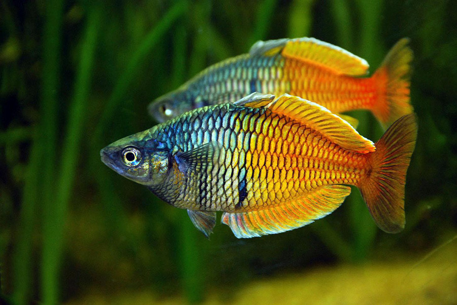 boeseman's rainbowfish