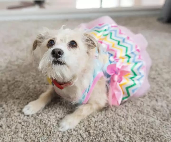image of a small terrier in a dress looking off camera at peanut butter banana ice cream for dogs