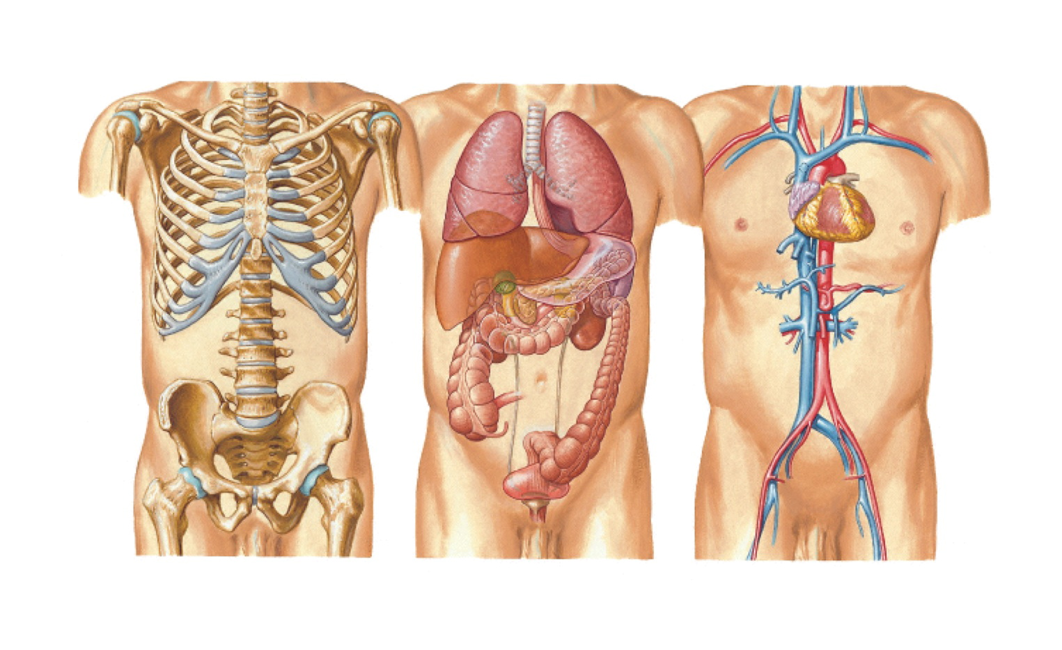 diagram of organs and ribs mustang 3g alternator wiring notes on anatomy physiology the spinal column