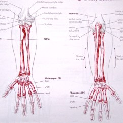 Outside Tendon Hand Diagram Ground Fault Circuit Breaker Wiring Notes On Anatomy And Physiology The Elbow Forearm Complex