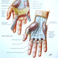 Palmar Hand Muscle Anatomy Diagram Scatter Line Of Best Fit Notes On And Physiology The Tiger S Mouth Fig