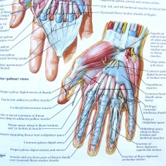 Hand Muscles Diagram Eye Lens Ray Notes On Anatomy And Physiology The Tigers