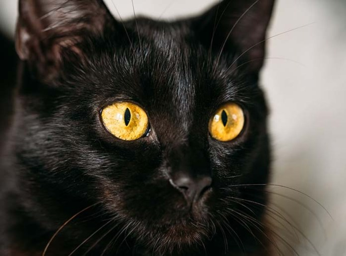 black cat friday the 13th superstition fun facts about cats