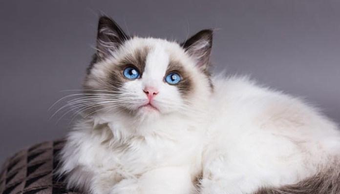 Ragdoll fuzzy kitten img
