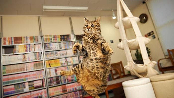 cat leaps with a library in the background leap day