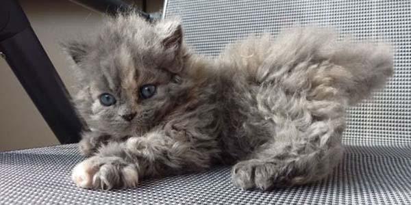poodle cat kitten