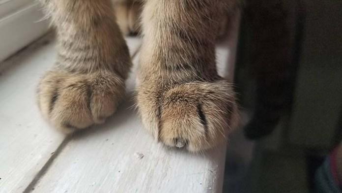 Reddit tabby cat cankles