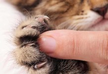 a person presses the middle of a cute kittens paws exposing cat claws