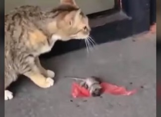 mouse rolls away from cat