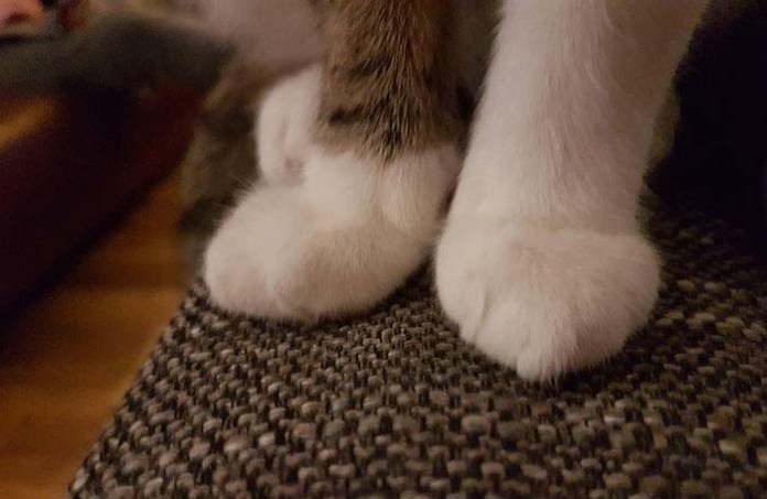kitty with socks cankles