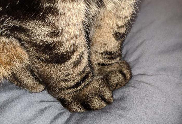 smooshy grey tabby cat cankles