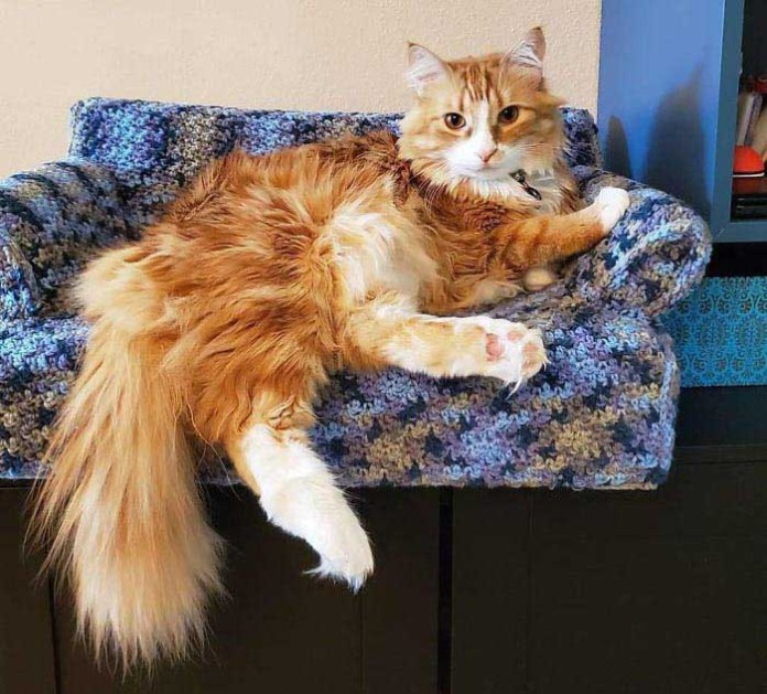 orange persian cat on a crochet cat couch