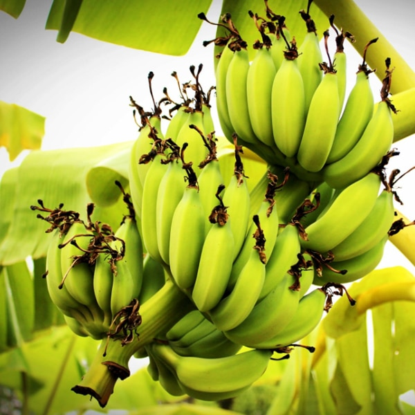 bunches of bananas on tree in tropics