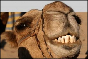 camel04-468x312