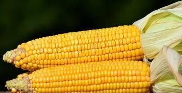 Buscan-incrementar-el-rendimiento-del-maíz-amarillo-duro-en-Lambayeque