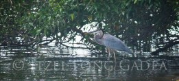 Great blue heron-0705