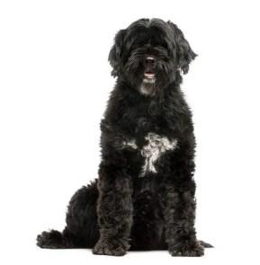 吉田鋼太郎,アルマ,愛犬,妻,プードル,ポーチュギーズ・ウォーター・ドッグ,黒い犬,大型犬,子犬
