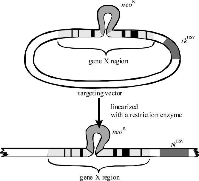 Problem‐solving test: Targeted gene disruption