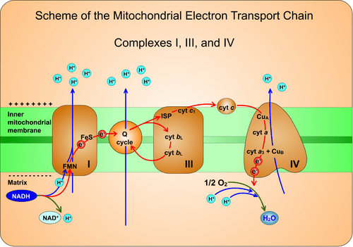 Using Adobe Flash Animations of electron transport chain to teach and learn biochemistry - Teplá - 2015 - Biochemistry and Molecular Biology ...
