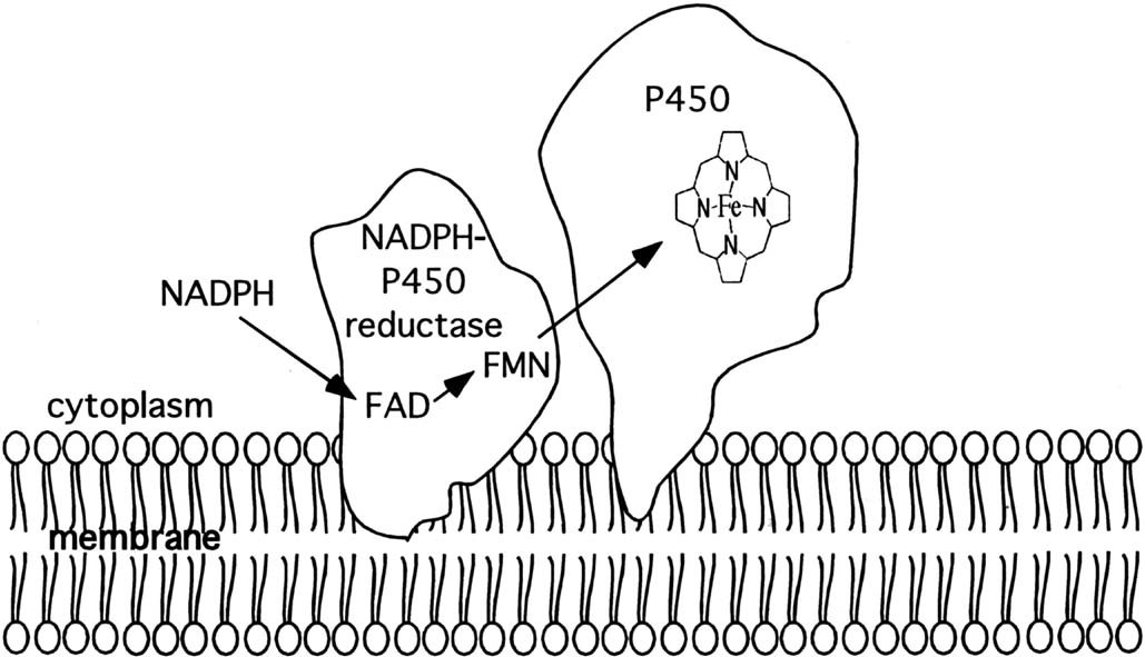Cytochrome P450 enzymes in drug metabolism and chemical