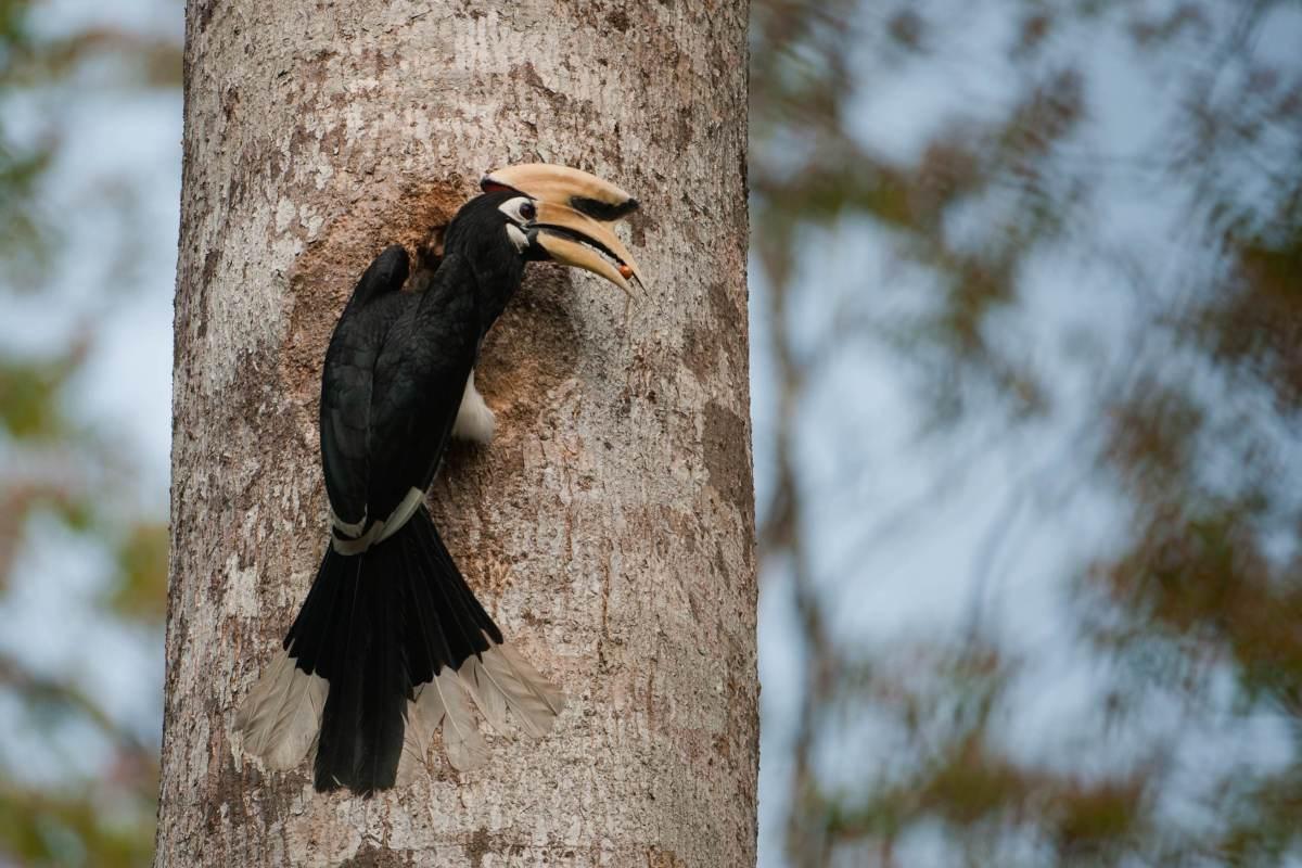 Male Oriental Pied Hornbill_Pakke_Kalyan Varma low res