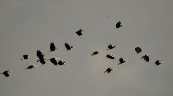 WH5 flying Kalyan Varma Namdapha low res