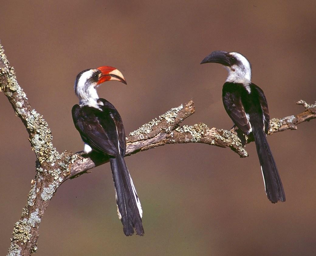 Von der Decken's Hornbill pair Kenya Morten Strange
