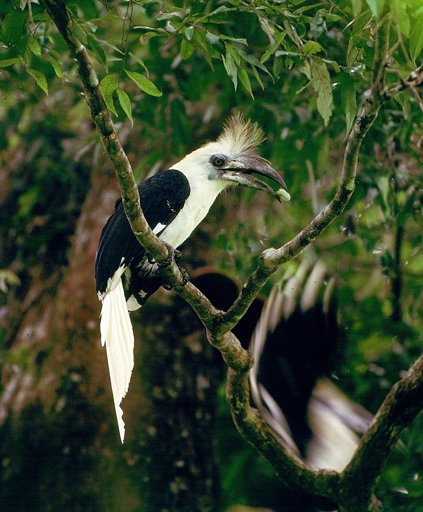 White-crowned Hornbill Box 1 male with food Thailand Morten Strange