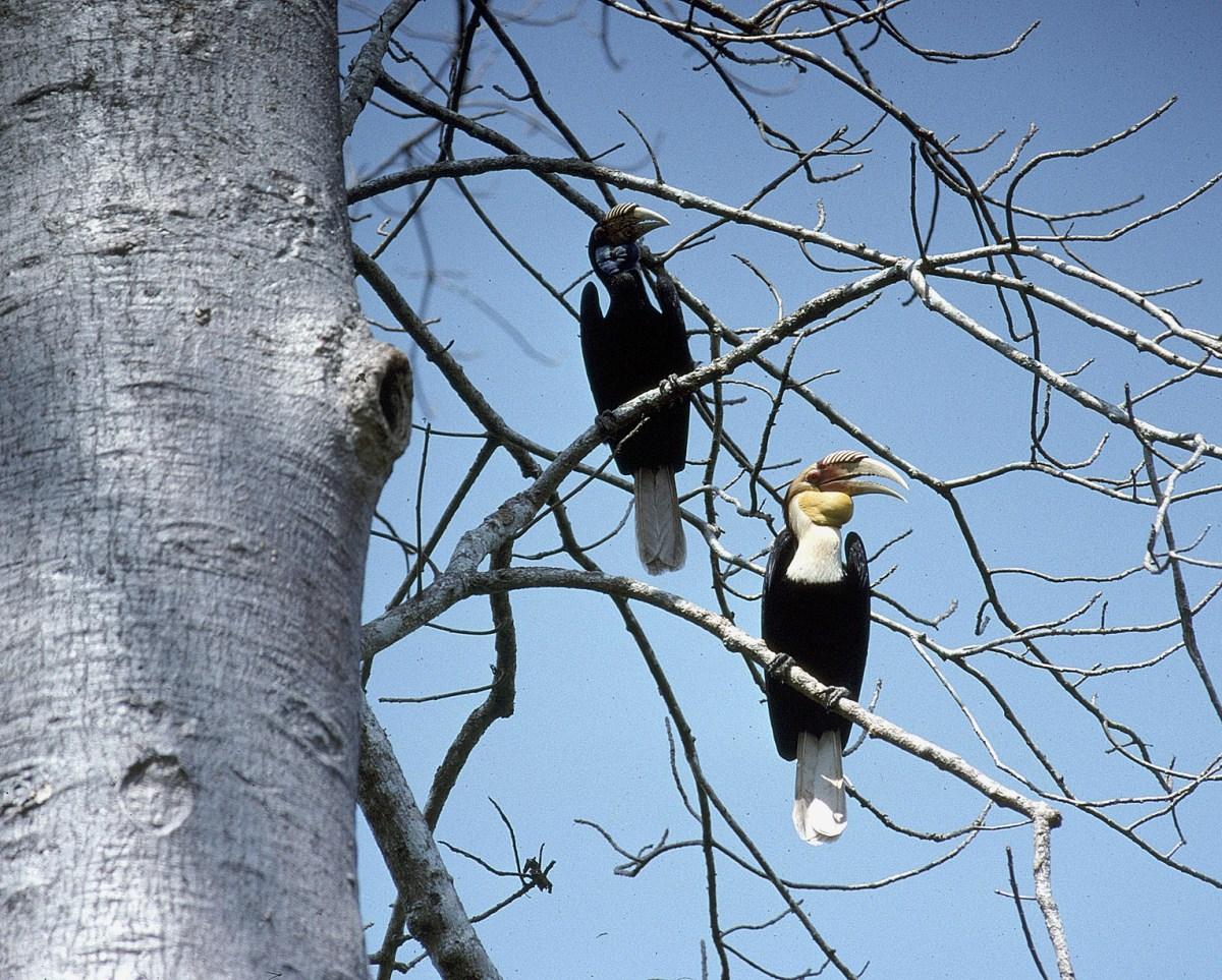 Plain-pouched Hornbill pair Thailand Hornbill Project