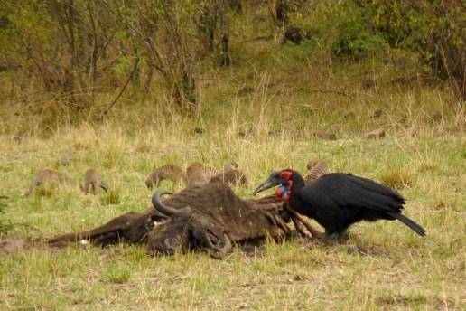 Southern Ground hornbill_TRSR2