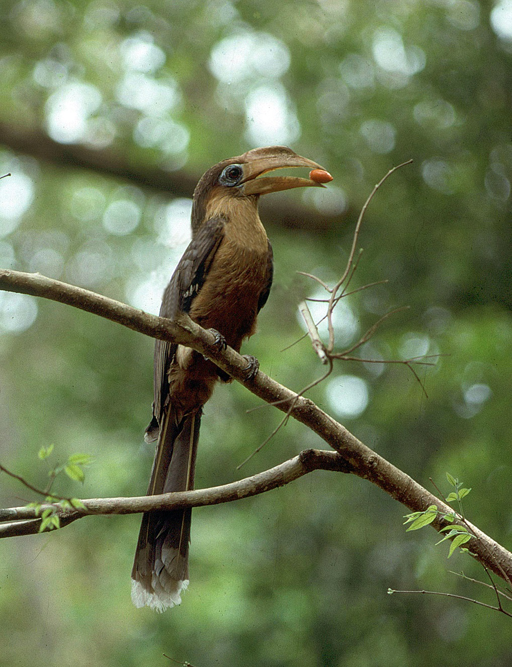 Tickell's Brown Hornbill male with food Thailand Hornbill Project