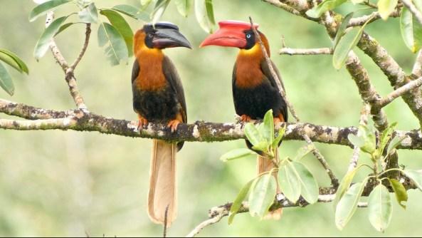 Rufous Hornbill 1_Nicky Icarangal_resize