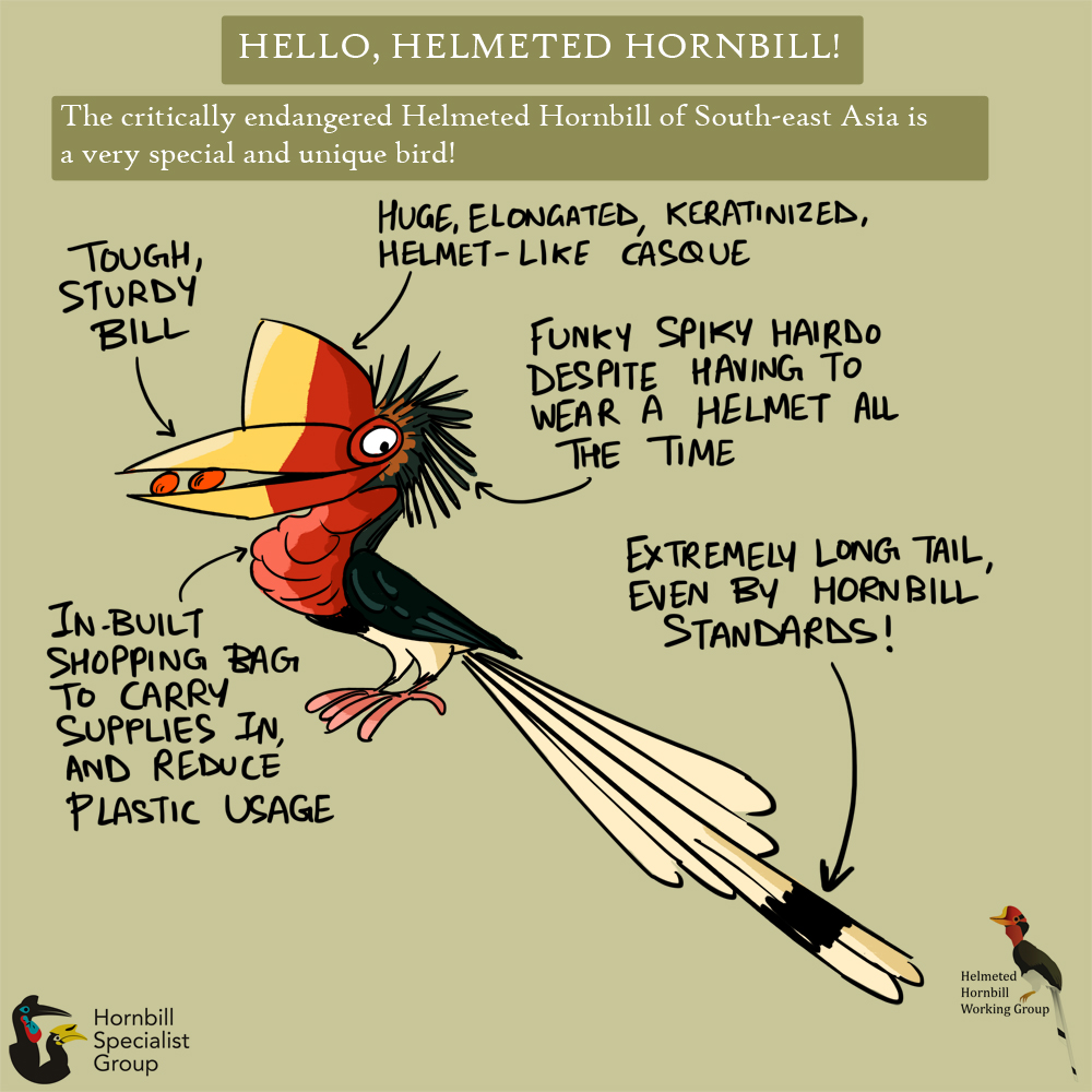 helmeted hornbill cartoons_web 1