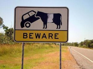 sign-beware-car-eating-cattle-queensland-2339539399