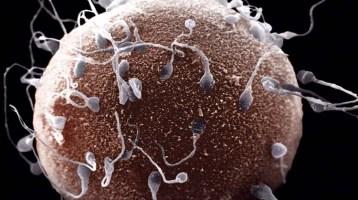 Καλλιέργεια ωαρίου, προετοιμασία σπέρματος και γονιμοποίηση