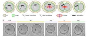 Νανοσυσκευή στον ενδοκυττάριο χώρο εμβρύου ποντικού