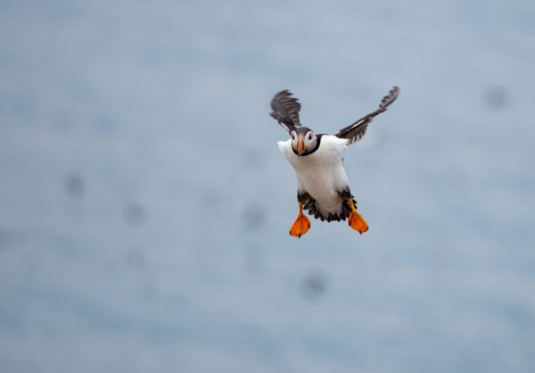 Puffin coming into land
