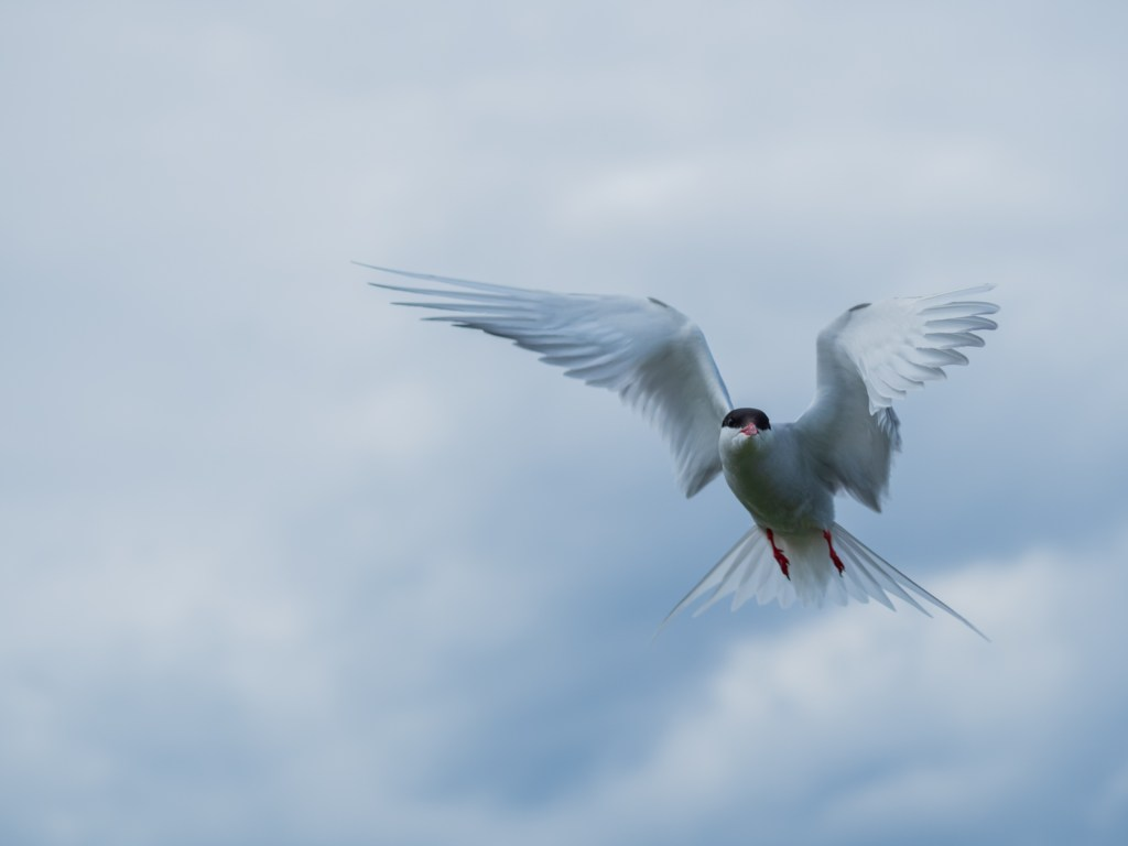 Arctic Tern Flying shot with evaluative metering and exposure compensation. Autofocus points set to a 9-block group.