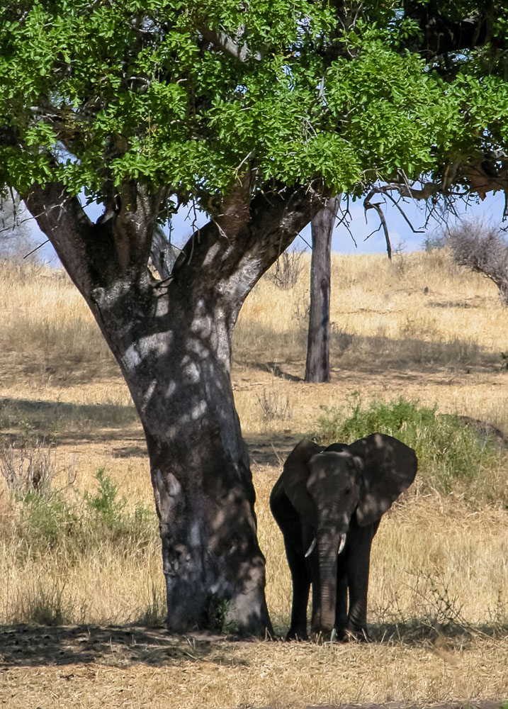 Baby elephant in the shade under a tree