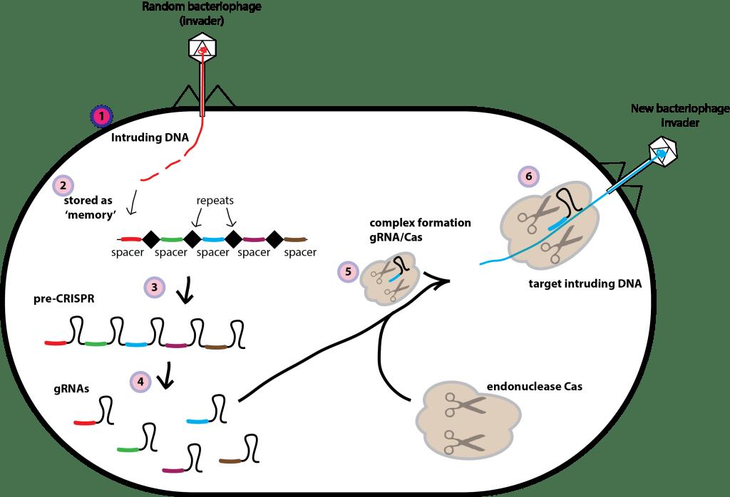 CRISPR development bacteria CRISPR_Cas9 explained simply