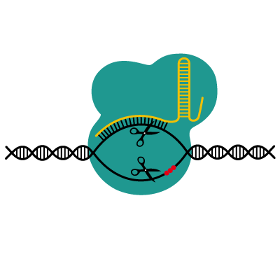 CRISPR-Cas9 explained simply | A powerful DNA-cutter?