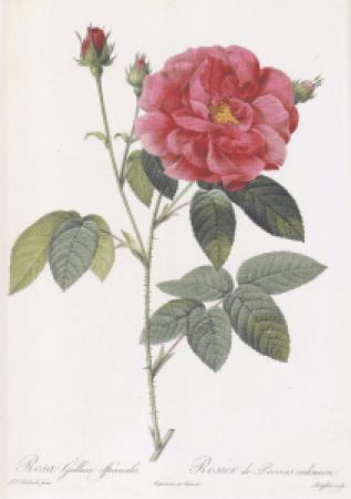 ロサガリカオフィキナリス