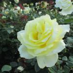 バラの花図鑑/「エリナ」は、耐寒性、耐暑性、さらに耐病性にもすぐれた、初心者にも育てやすいバラ。2006年バラの栄誉殿堂入り!