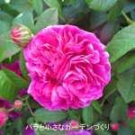 バラの花図鑑/「シャルル・ドゥ・ミル」は花径9cmの豪華な花形、強香、強健!オールド・ローズを代表するバラ
