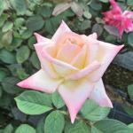 バラの花図鑑/「エレガントレディ」(ダイアナ・プリンセス・オブ・ウェールズ)は、イギリス元皇太子妃に捧げられたバラ