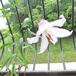 6月23日のベランダのバラと花「笹百合と子カマキリの孵化!」