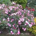 修景バラのおすすめ品種。ローメンテナンスでもたくさん咲きます!