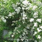 バラの花図鑑/「ロサ・ムルティフロラ」(ノイバラ)は、園芸品種の房咲き性の親