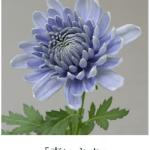青いキクが誕生! これは本当に青いバラの誕生にも期待ができる!