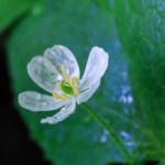 透明な花サンカヨウってどんな花?見られる時期や場所、育て方までご紹介!